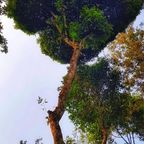 Amit Singh Tall Tree