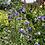 Thumbnail: Jacob's Ladder Polemonium caeruleum Seeds