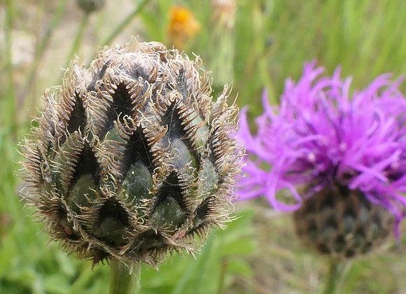 Chalk & Limestone Seeds Summer Flowering UK Native Wild Flowers