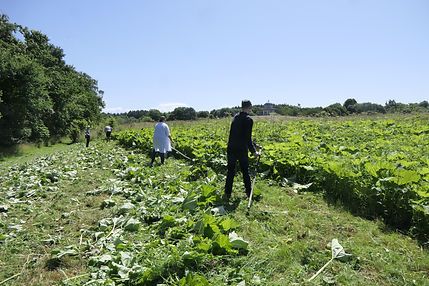 Volunteers clearing butterbur and nettles with scythes at Hardwick Park