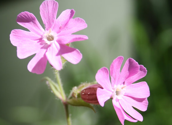 Red Campion Silene dioica Seeds
