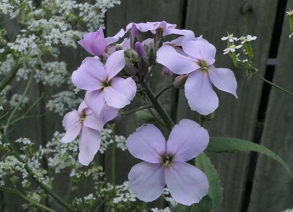 Dames Violet Hesperis matrionalis seeds