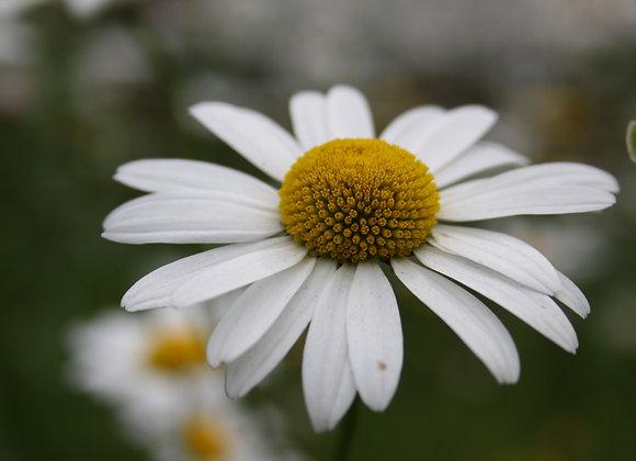 Ox Eye Daisy Leucanthemum vulgare