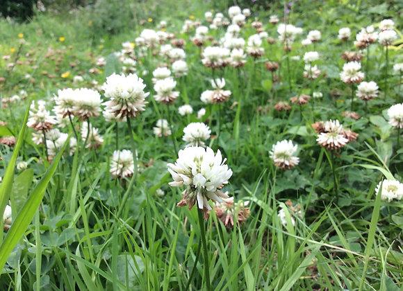 White Clover Seeds