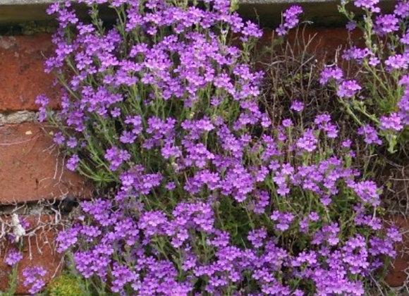Fairy Foxglove Erinus alpinus