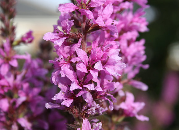 Garden Pond Plant Purple Loosestrife Seeds Native Aquatic Marginal