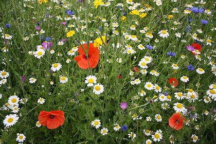 Wild Flower Poppy Seeds annuals.jpg