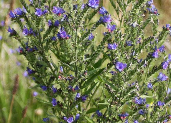 Vipers Bugloss Seeds