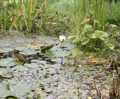 Wildlife friendly garden pond in late su