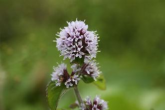 Mint Flower.JPG
