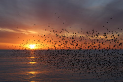 Too Many Starlings!!