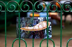 Langue de boeuf sur clôture