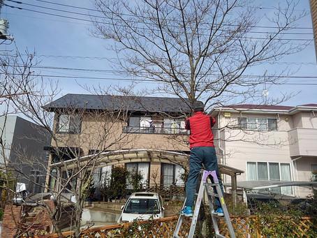 庭木の伐採・剪定を助っ人しました!