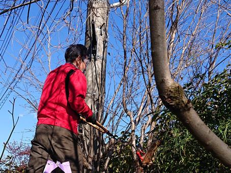 庭木の高所枝切りを助っ人しました!