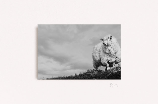 Sheep by Skelligs B&W
