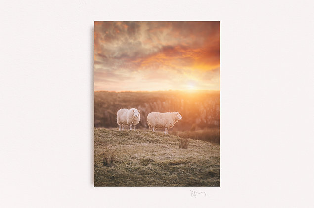 Sunset Sheep