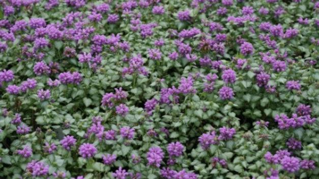Lamium macrulatum 'Orchid Frost' ORCHID FROST LAMIUM or SPOTTED DEADNETTLE