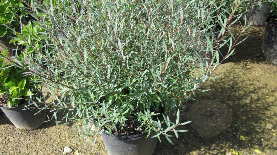 Salix purpurea nana DWARF BLUE ARCTIC WILLOW
