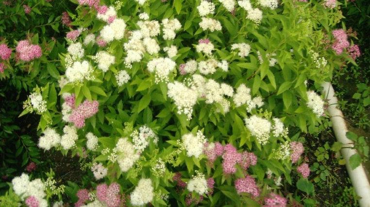 Spiraea japonica 'Shirobana' SHIROBANA SPIRAEA