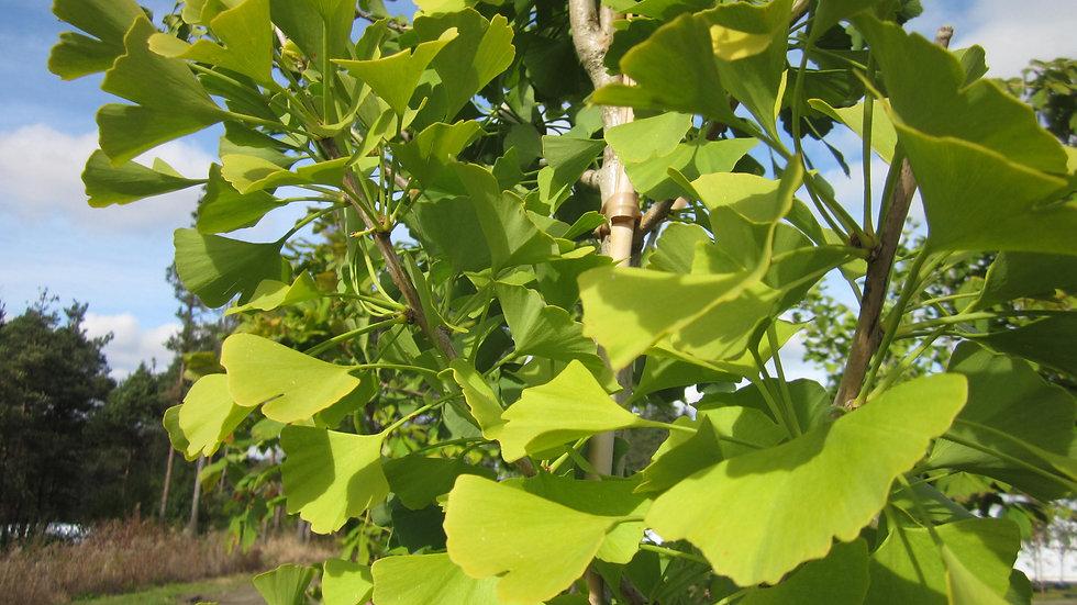 Ginkgo biloba 'Shangri-La'  SHANGRI-LA GINKGO or MAIDENHAIR TREE