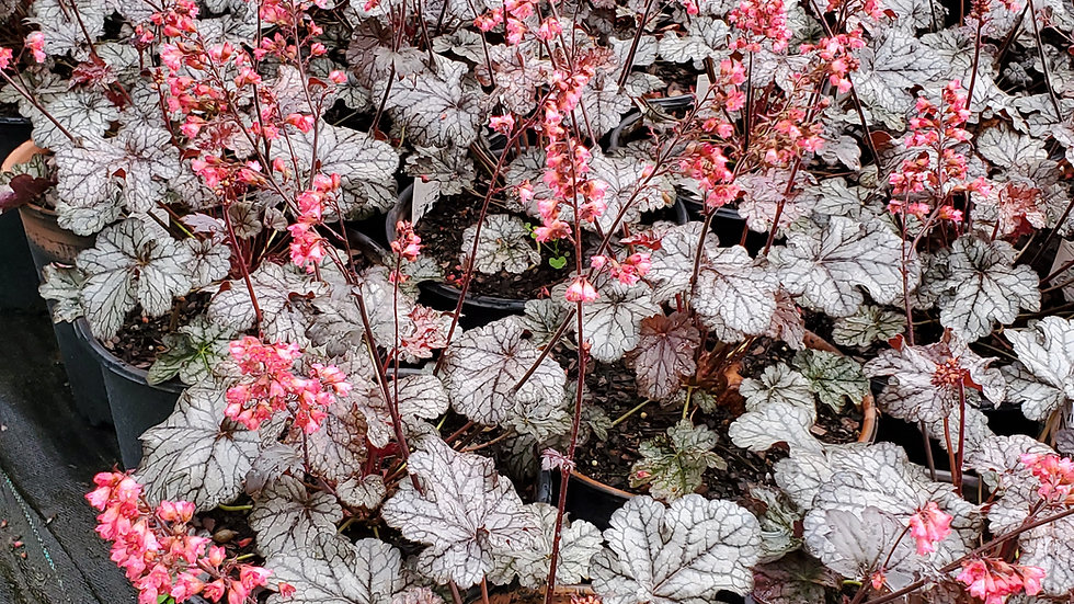 Heuchera 'Timeless Treasure' (PP 31,987) TIMELESS TREASURE CORAL BELLS