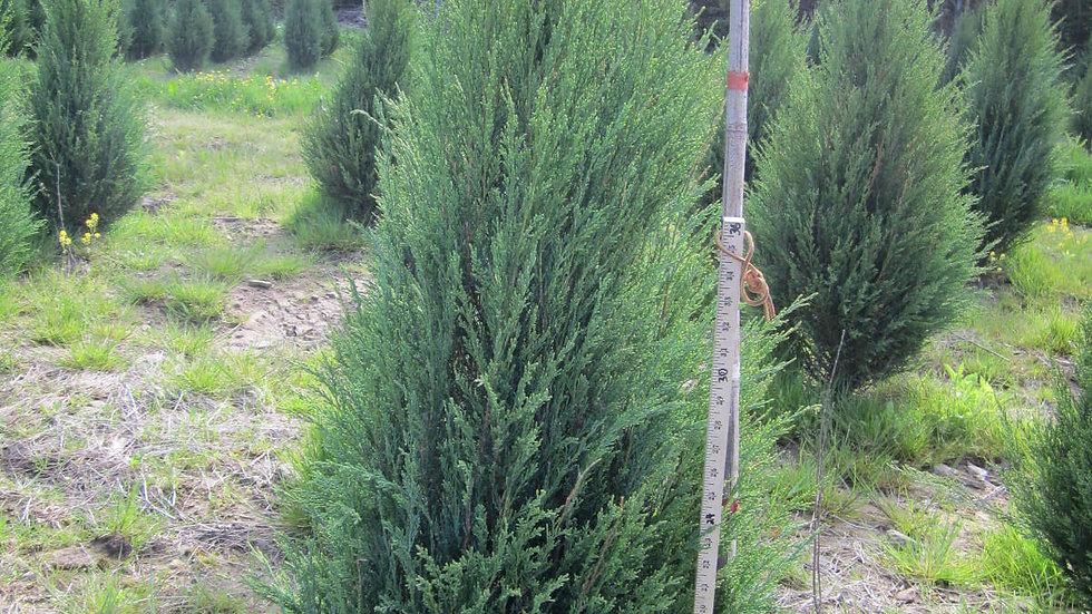 Juniperus scopulorum 'Blue Arrow' BLUE ARROW JUNIPER