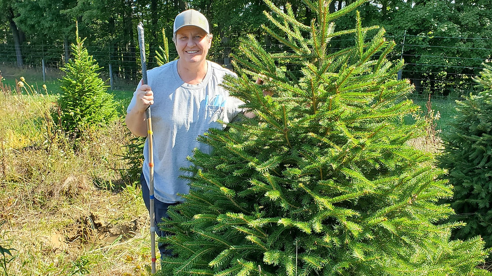 Picea abies NORWAY SPRUCE