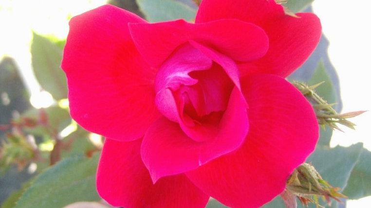 Rosa 'Blaze' BLAZE CLIMBING ROSE