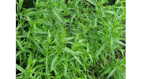 Artemisia dracunculoides RUSSIAN TARRAGON