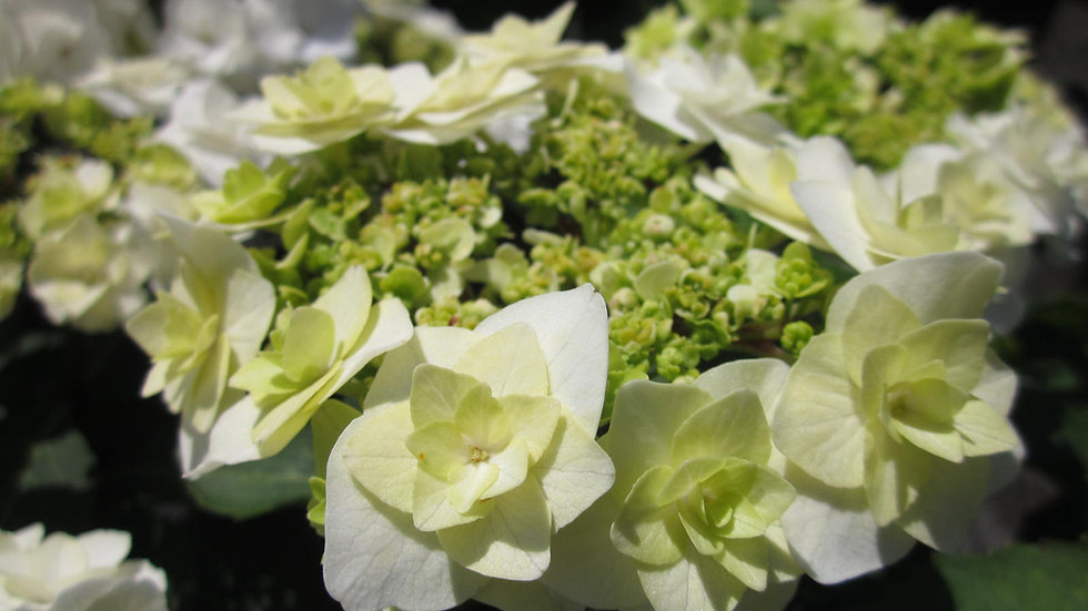 Hydrangea macrophylla 'Dancing Snow' (PP 21,052) WEDDING GOWN HYDRANGEA