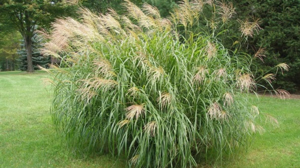 Miscanthus floridulus 'Giganteus' GIANT CHINESE SILVER GRASS