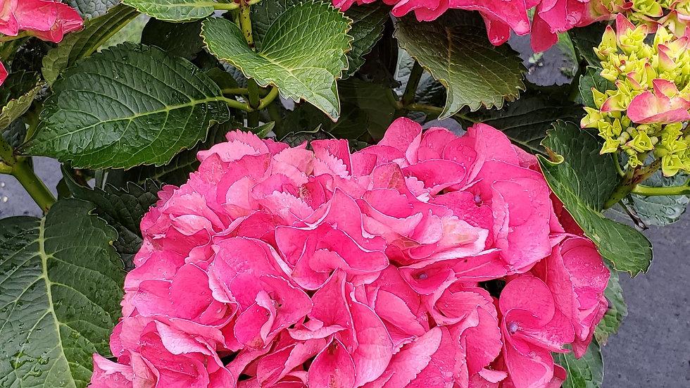 Hydrangea macrophylla 'Paris Rapa' (PP 10,906) CITYLINE® PARIS BIGLEAF HYDRANGEA
