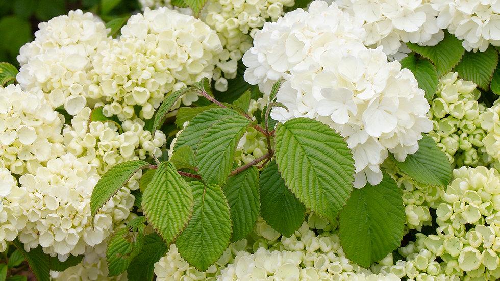 Viburnum plicatum var. tomentosum 'Popcorn' POPCORN DOUBLEFILE VIBURNUM