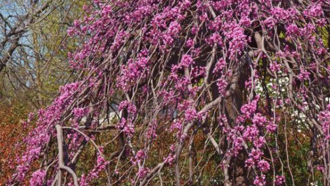 Cercis canadensis 'Pink Heartbreaker' (PP 23,043) PINK HEARTBREAKER® WPG REDBUD