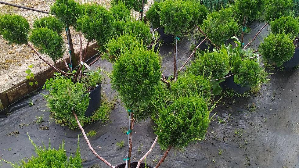 Juniperus chinensis 'Monlep' MINT JULEP® JUNIPER