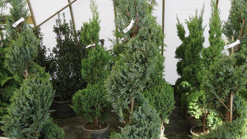 Juniperus scopulorum 'Moonglow' MOONGLOW JUNIPER