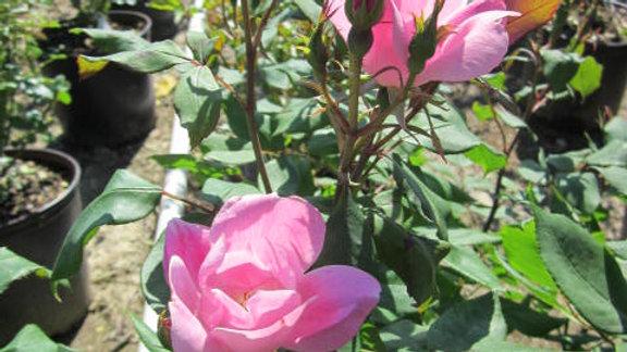 Rosa 'Radyod' (PP14,700) THE BLUSHING KNOCK OUT® ROSE