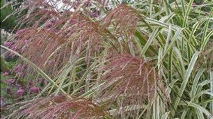 Miscanthus sinensis 'Variegated' VARIEGATED MAIDEN GRASS