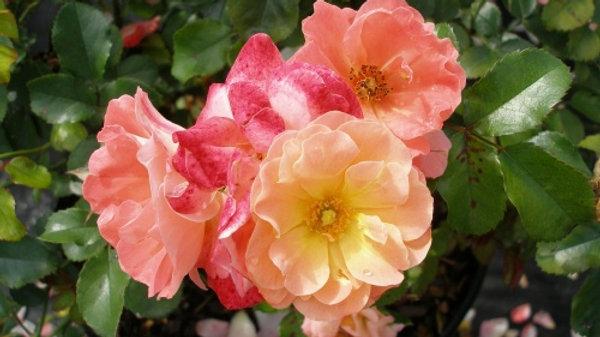 Rosa 'Meiggili' (PP18,542) PEACH DRIFT® ROSE