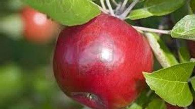 Malus ' Red McIntosh' RED MCINTOSH DWARF APPLE