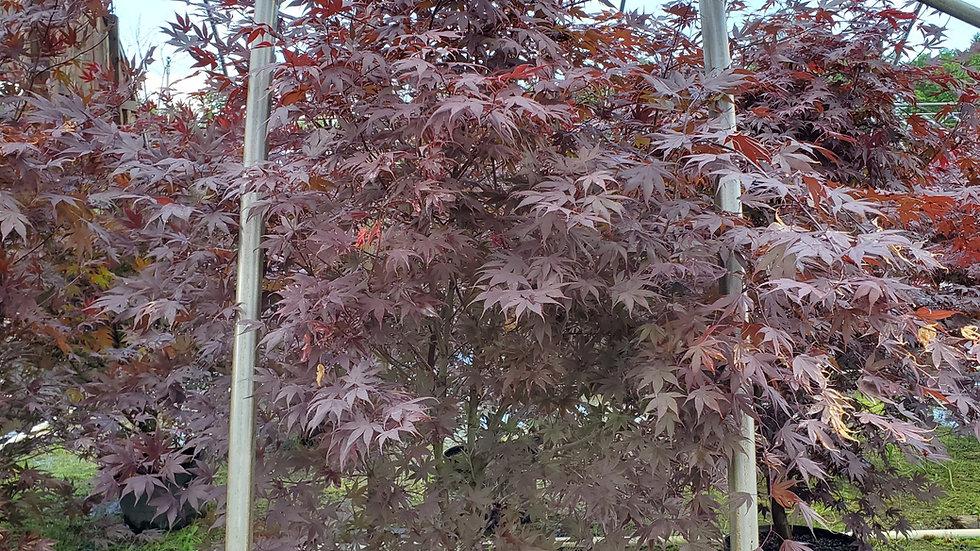 Acer palmatum 'Bloodgood' BLOODGOOD JAPANESE MAPLE