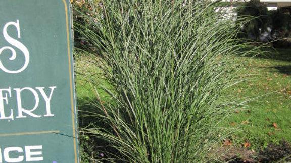 Miscanthus sinensis 'Gracillimus' MAIDEN GRASS