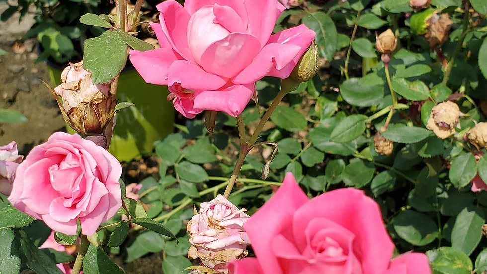 Rosa 'Radtkopink' (PP18,507) THE PINK DOUBLE KNOCK OUT® ROSE