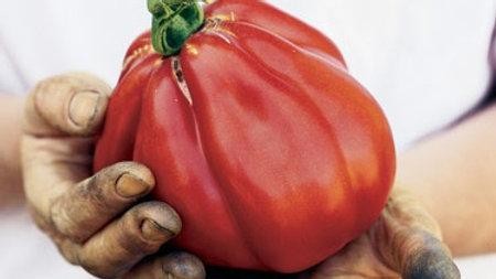 Tomato 'Goldman's Italian-American' GOLDMAN'S ITALIAN-AMERICAN TOMATO