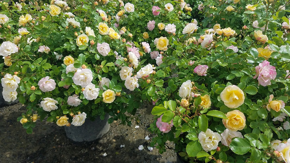 Rosa 'Novarospop' (PP24,773) POPCORN DRIFT® ROSE