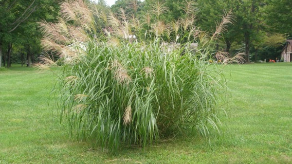 Miscanthus sinensis 'Graziella' SILVER MAIDEN GRASS
