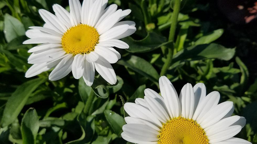 Leucanthemum x superbum 'Becky'  BECKY SHASTA DAISY