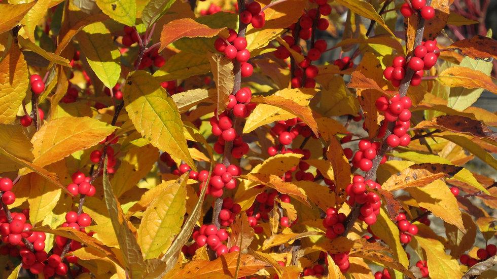 Ilex verticillata 'Winter Red' (PP 4,146) WINTER RED WINTERBERRY