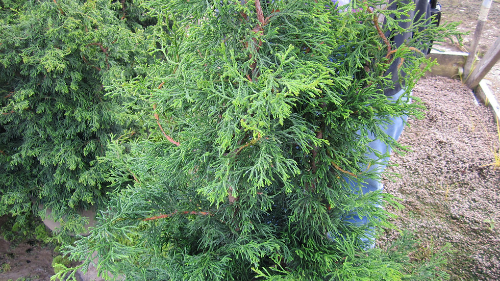 Chamaecyparis obtusa 'Torulosa' TWISTED HINOKI FALSE CYPRESS