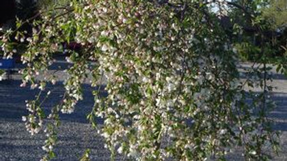 Malus 'Uebo' (PP 15,559) APRIL SHOWERS™ WEEPING CRABAPPLE
